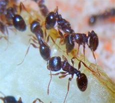 pest library ant appearance and behaviour
