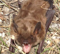 pest library bat appearance and behaviour