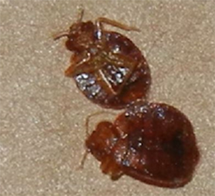 pest control vaughan bed bugs