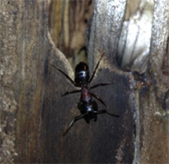pest control whitby carpenter ants