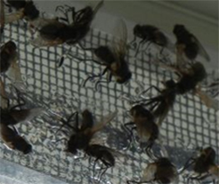 pest control whitby cluster flies