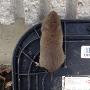 pest control pickering rodents