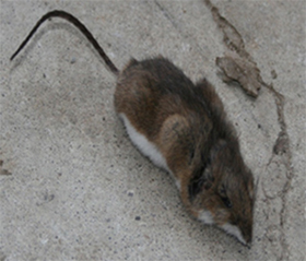 pest control port perry rodents