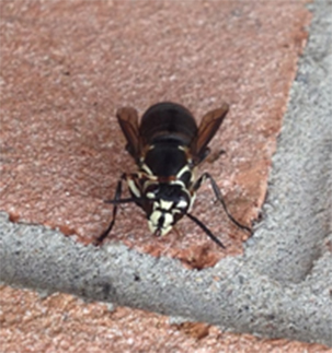pest control vaughan wasps